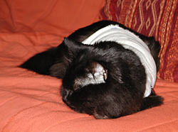 Suzie the cat, Bandaged after Operation